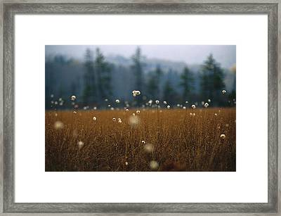 Cotton Grass, Sedges And A Red Spruce Framed Print