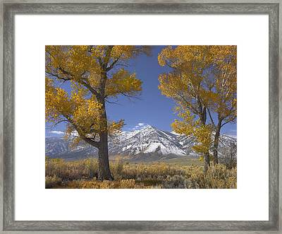 Cottonwood Trees Fall Foliage Carson Framed Print by Tim Fitzharris