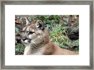 Cougar - 0006 Framed Print by S and S Photo