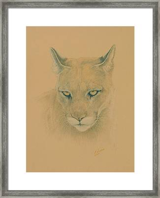 Cougar Framed Print by Norm Holmberg