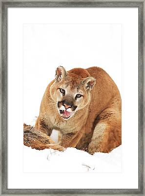 Cougar With Prey Framed Print by Richard Wear