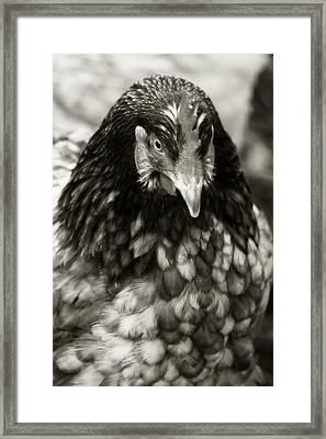 Country Chicken 5 Framed Print by Scott Hovind