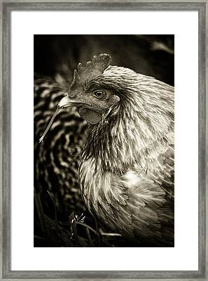Country Chicken 7 Framed Print by Scott Hovind