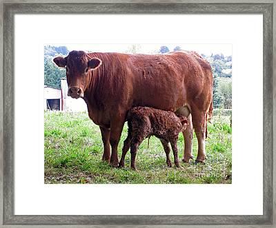 Cow And Newborn Calf Framed Print by Rod Jones