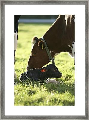 Cow And Newborn Calf Framed Print