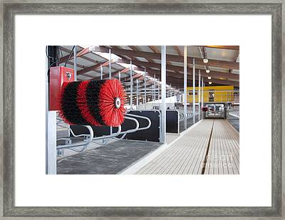 Cow Brush In A Cowshed Framed Print