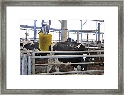 Cow Brush Framed Print by Photostock-israel