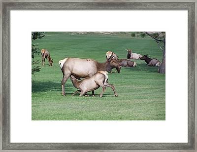 Cow Elk Feeding Calf Framed Print by Richard Adams