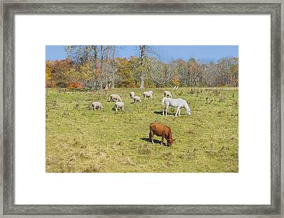 Cow Horse Sheep Grazing On Grass Farm Field Maine Photograph Framed Print