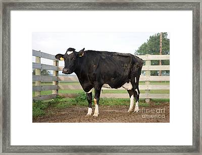 Cow With Johnes Disease Framed Print