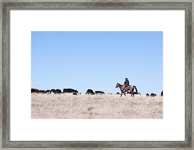 Cowboy And Cattle Framed Print by Cindy Singleton