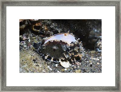 Cowrie On A Reef Framed Print by Georgette Douwma