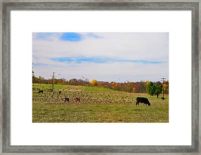 Cows And Birds Framed Print