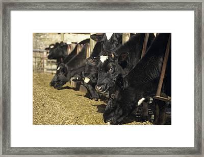 Cows Framed Print by David Aubrey