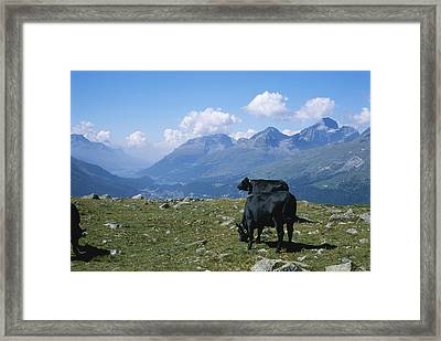 Cows Graze In A Field High Framed Print