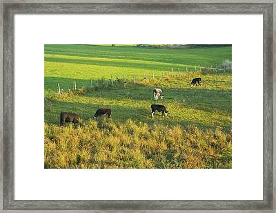 Cows Grazing In Late Day Light On Farm Maine Framed Print