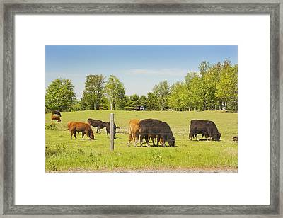 Cows Grazing On Grass In Maine Farm Field Spring Framed Print by Keith Webber Jr