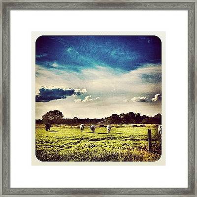 #cows In The Field Framed Print