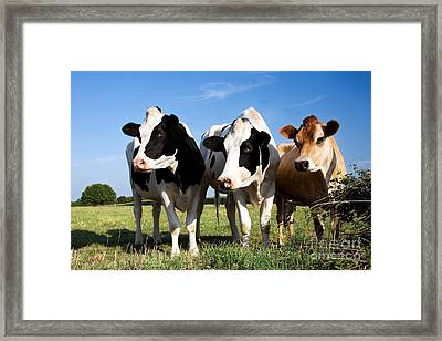 Cows Framed Print by Jane Rix
