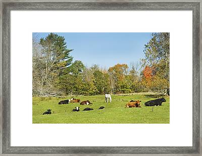 Cows Laying On Grass In Farm Field Autumn Maine Framed Print