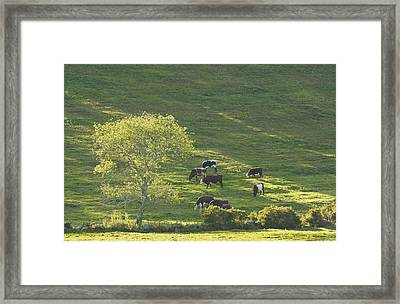 Cows On Hillside Summer In Maine Framed Print
