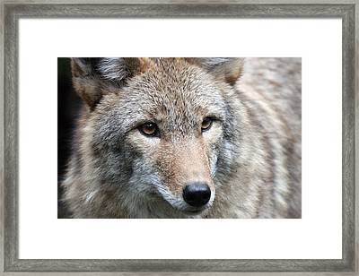 Coyote - 0034 Framed Print