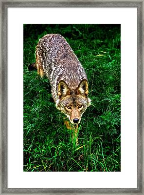 Coyote Framed Print by Andre Faubert
