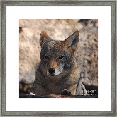 Coyote Beautiful Framed Print by DiDi Higginbotham