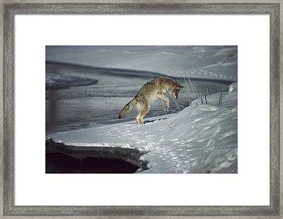 Coyote Canis Latrans Pouncing On Small Framed Print by Michael Quinton