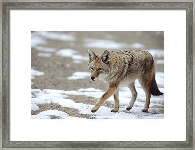 Coyote Canis Latrans Rocky Mountain Framed Print by Philippe Henry