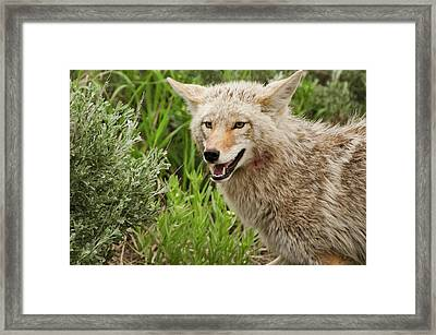 Coyote Hunting Framed Print by Bjbowne