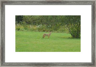 Coyote In The Yard  Framed Print by Jeffrey Benedict
