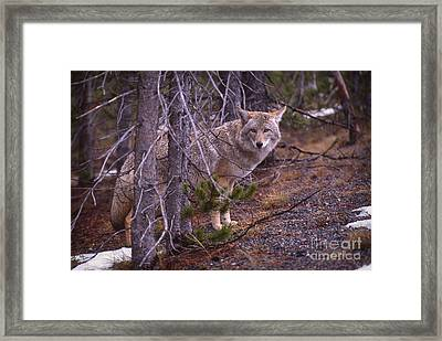 Coyote In Yellowstone National Park Framed Print