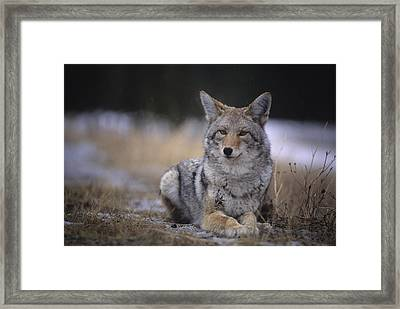 Coyote Resting In Winter Grass, Snowing Framed Print by Leanna Rathkelly