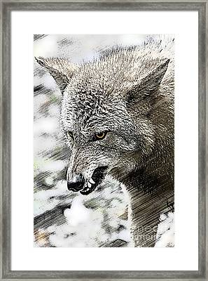 Coyote Snarling Framed Print by Dan Friend