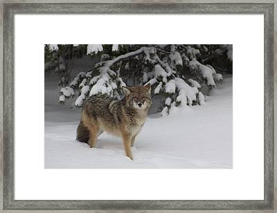 Coyote Framed Print by Sylvia Hart