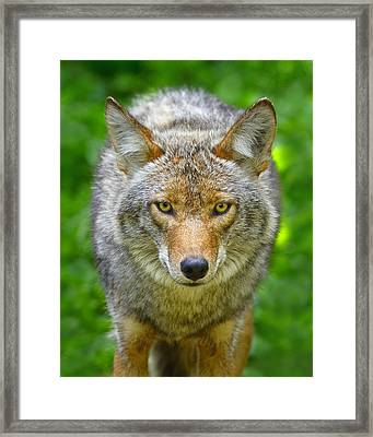 Coyote Framed Print by Tony Beck