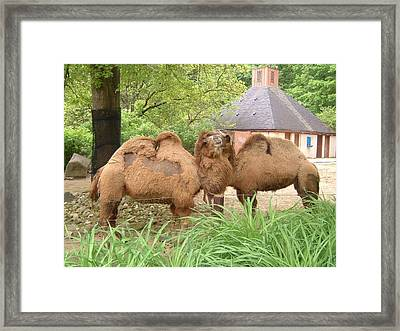 Cozy Camels - Cleveland Metro Zoo 1 Framed Print by S Taylor