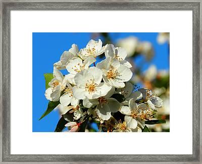Crab Apple Blossom Macro 001 Framed Print by Lance Vaughn