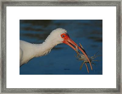 Crabcake Framed Print by Vincent Abbatiello