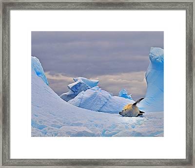 Crabeater On Ice Framed Print
