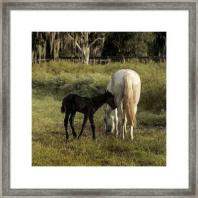 Cracker Foal And Mare Framed Print by Lynn Palmer
