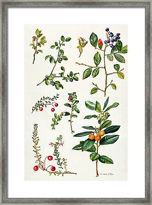 Cranberry And Other Berries Framed Print by Elizabeth Rice