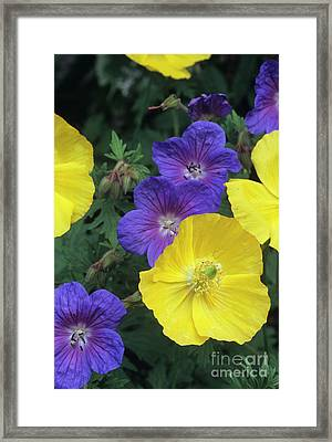 Cranesbill And Iceland Poppy Flowers Framed Print by Archie Young