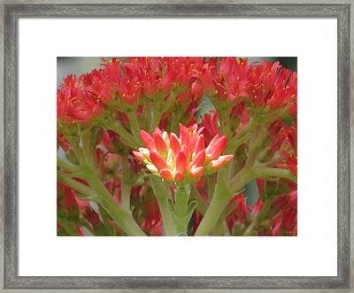 Crassula Flower Framed Print by Alfred Ng