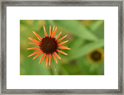 Crazy Coneflower Patch Framed Print by Maria Suhr