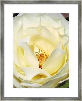 Cream Rose  Framed Print by Rebecca Overton