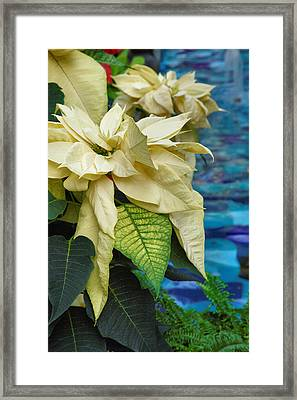 Creamy Poinsetta  Framed Print by Steven Ainsworth
