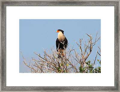 Crested Cara Cara Framed Print by Jennifer Zelik