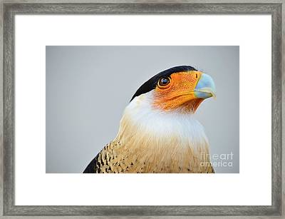 Crested Caracara Portrait Framed Print